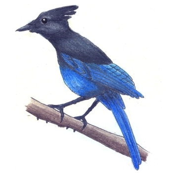 Button for Information about Learning at Home, Steller's Jay Drawing
